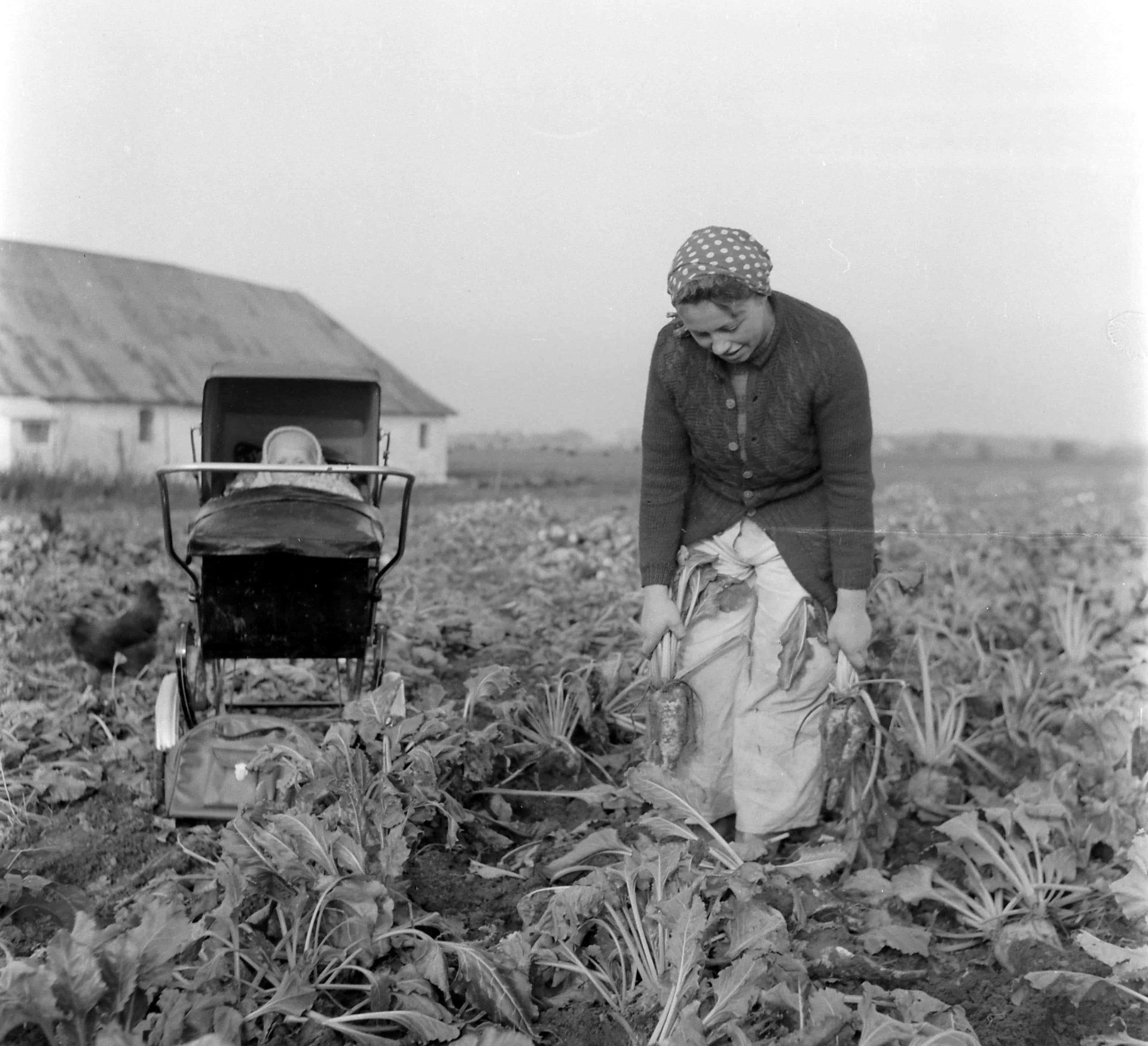 En kvinde arbejder i en mark med roer i 1957
